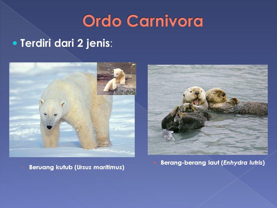 Terdiri dari 2 jenis : Beruang kutub ( Ursus maritimus ) Berang-berang laut ( Enhydra lutris )