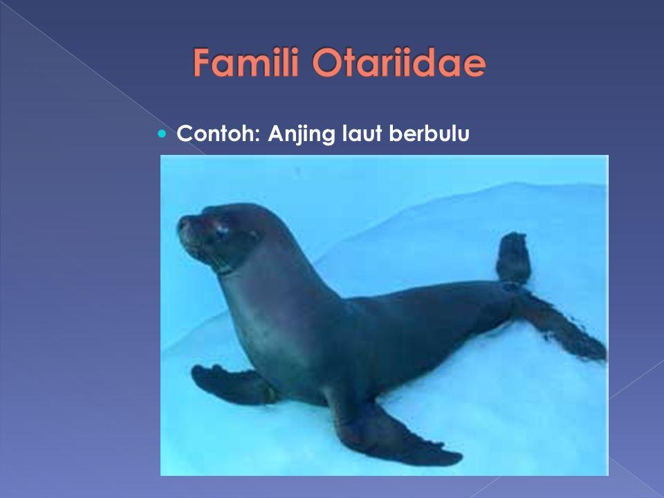 Contoh: Anjing laut berbulu