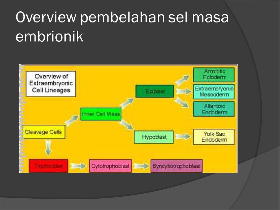 Overview pembelahan sel masa embrionik