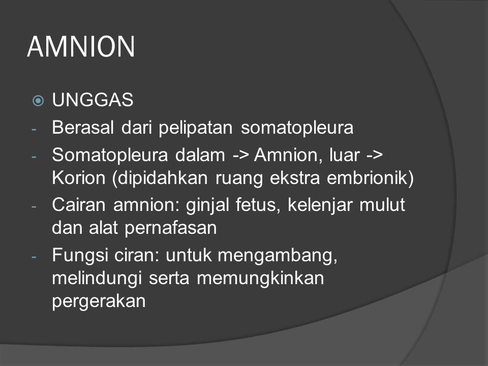 AMNION  UNGGAS - Berasal dari pelipatan somatopleura - Somatopleura dalam -> Amnion, luar -> Korion (dipidahkan ruang ekstra embrionik) - Cairan amni