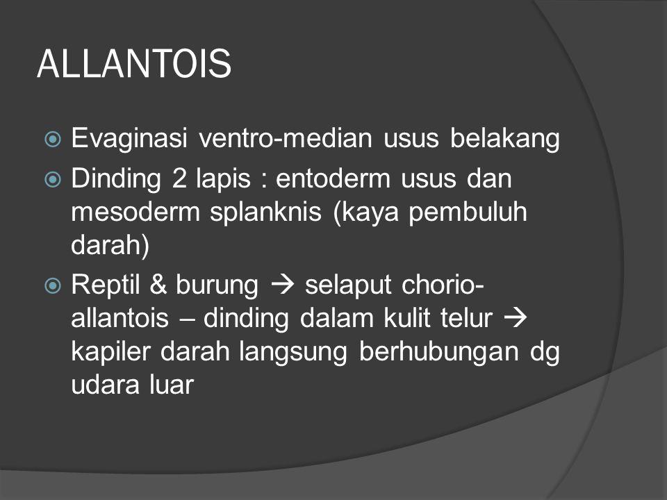 ALLANTOIS  Evaginasi ventro-median usus belakang  Dinding 2 lapis : entoderm usus dan mesoderm splanknis (kaya pembuluh darah)  Reptil & burung  s