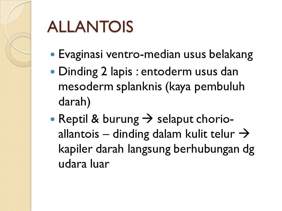 ALLANTOIS Evaginasi ventro-median usus belakang Dinding 2 lapis : entoderm usus dan mesoderm splanknis (kaya pembuluh darah) Reptil & burung  selaput