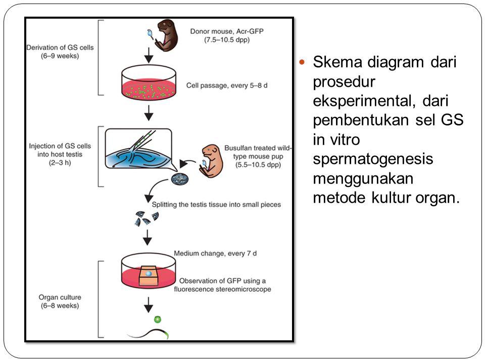 Skema diagram dari prosedur eksperimental, dari pembentukan sel GS in vitro spermatogenesis menggunakan metode kultur organ.