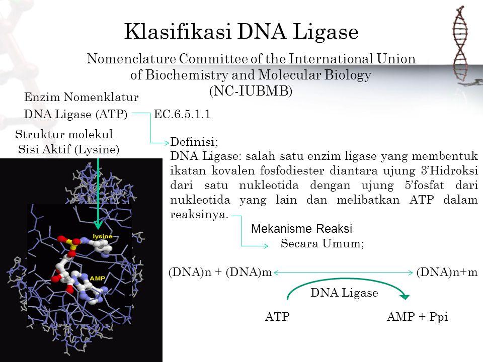 Klasifikasi DNA Ligase Nomenclature Committee of the International Union of Biochemistry and Molecular Biology (NC-IUBMB) Enzim Nomenklatur DNA Ligase