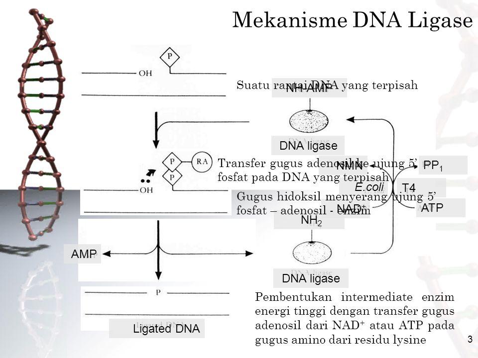 3 NH-AMP DNA ligase NH 2 ATP PP 1 T4 E.coli NAD + NMN AMP Ligated DNA Mekanisme DNA Ligase Suatu rantai DNA yang terpisah Pembentukan intermediate enzim energi tinggi dengan transfer gugus adenosil dari NAD + atau ATP pada gugus amino dari residu lysine Transfer gugus adenosil ke ujung 5' fosfat pada DNA yang terpisah Gugus hidoksil menyerang ujung 5' fosfat – adenosil - enzim