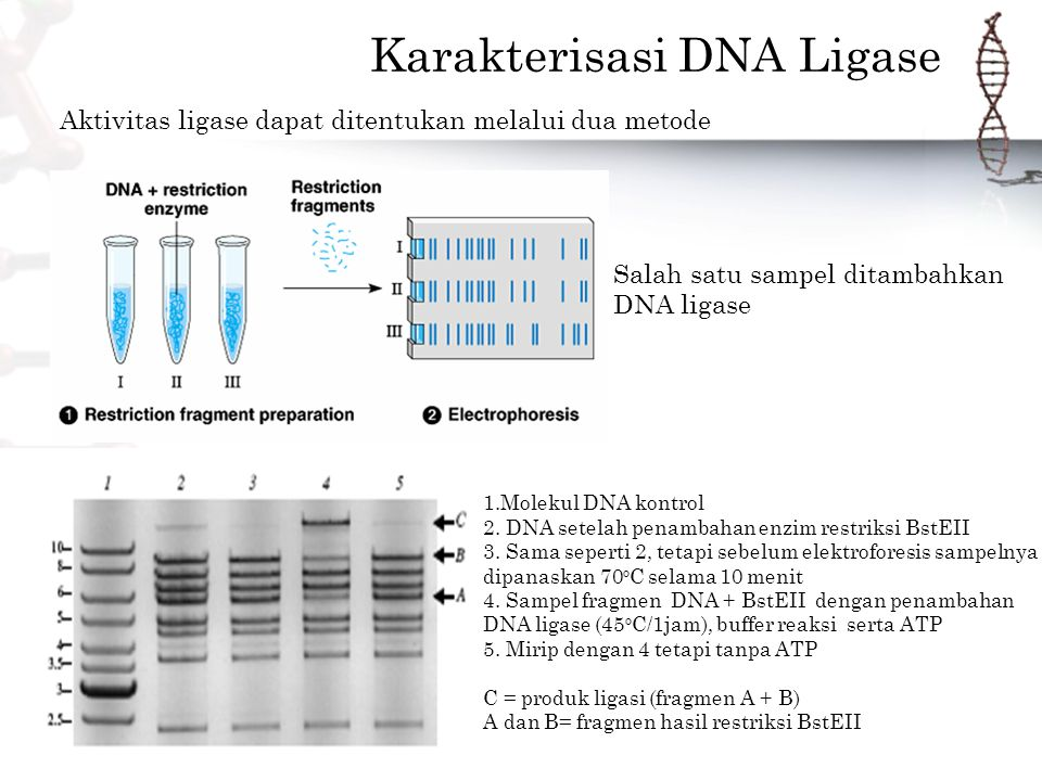 Karakterisasi DNA Ligase Salah satu sampel ditambahkan DNA ligase Aktivitas ligase dapat ditentukan melalui dua metode 1.Molekul DNA kontrol 2.