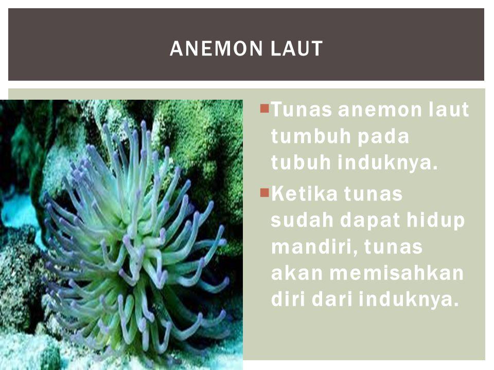  Tunas anemon laut tumbuh pada tubuh induknya.