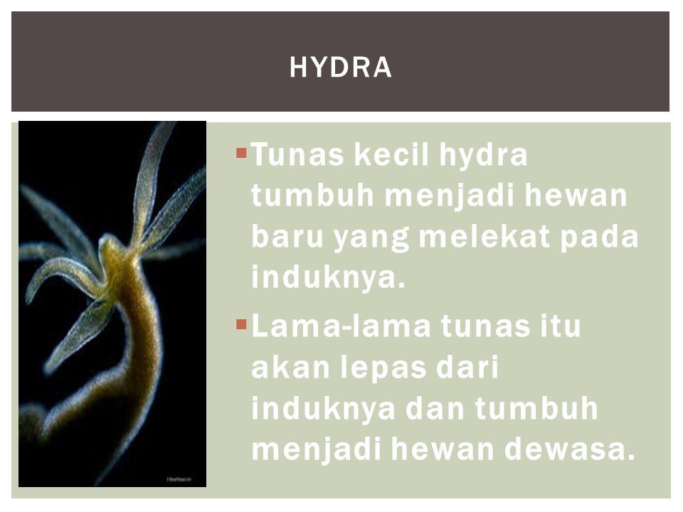  Tunas kecil hydra tumbuh menjadi hewan baru yang melekat pada induknya.