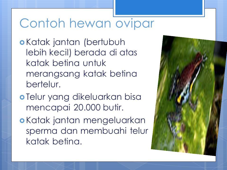 Contoh hewan ovipar  Katak melindungi telur yang telah dibuahi dengan berbagai cara, misalnya dilekatkan di punggung (pada katak marsupialia kerdil), ditelakkan di atas tumbuhan atau tanah (pada katak warangan), dan dibawa pada kantong suaranya (pada katak darwin)  Telur menetas menjadi berudu.
