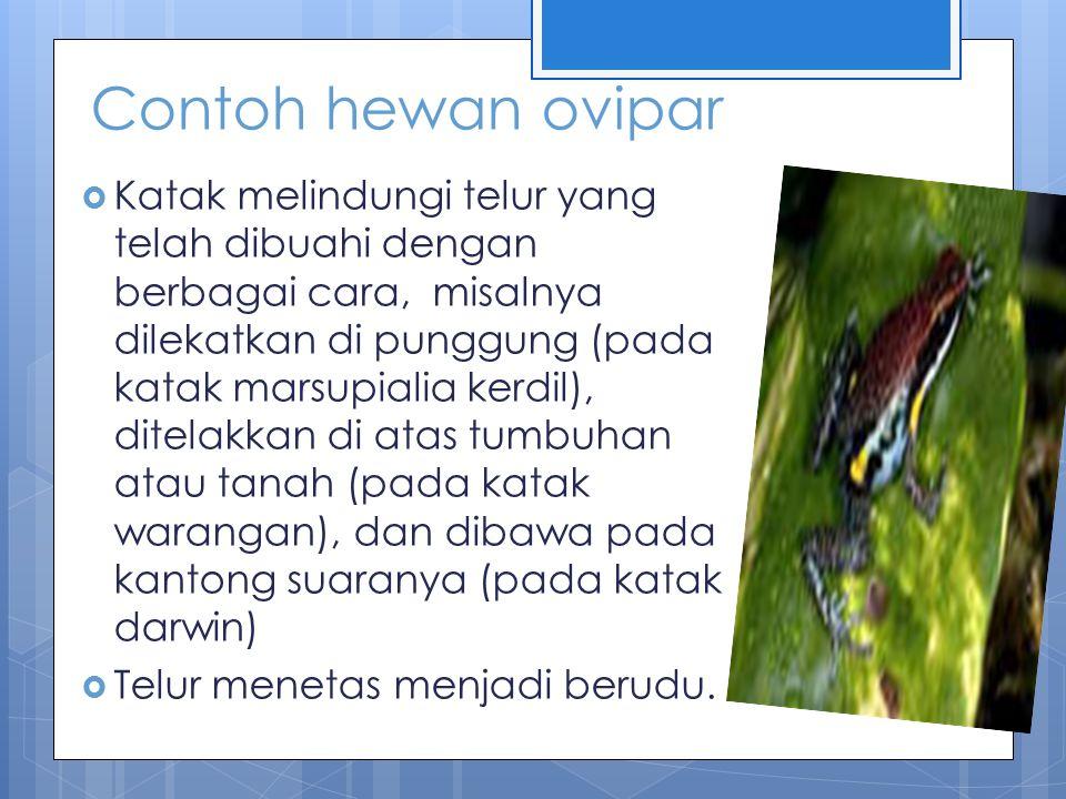 Hewan yang bertelur dan menyusui duck billed platypus spiny ant eater