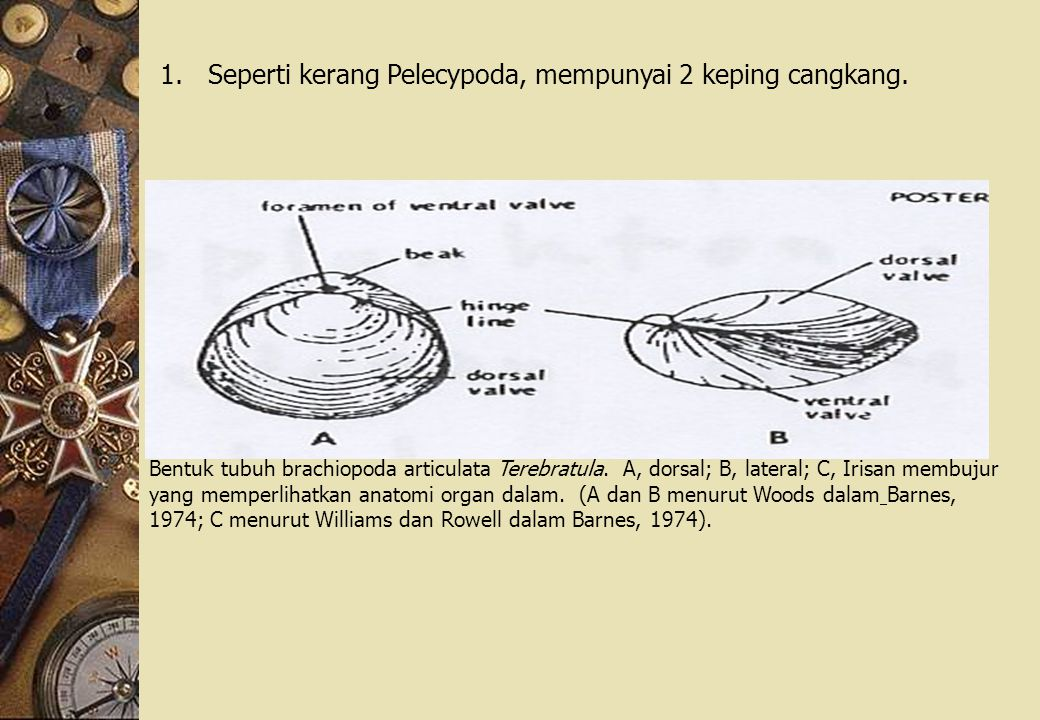 1.Seperti kerang Pelecypoda, mempunyai 2 keping cangkang.