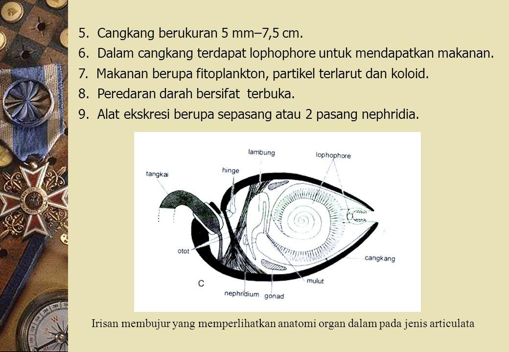 5.Cangkang berukuran 5 mm–7,5 cm. 6. Dalam cangkang terdapat lophophore untuk mendapatkan makanan.