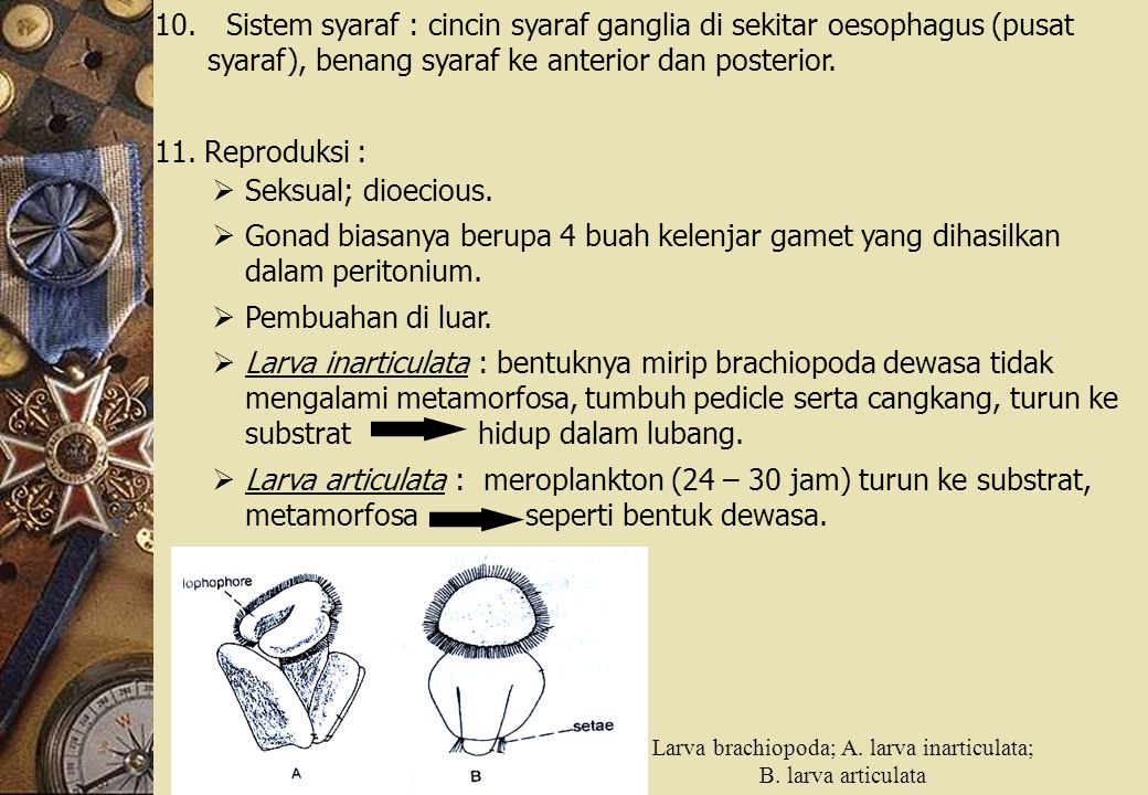 10. Sistem syaraf : cincin syaraf ganglia di sekitar oesophagus (pusat syaraf), benang syaraf ke anterior dan posterior. 11. Reproduksi :  Seksual; d