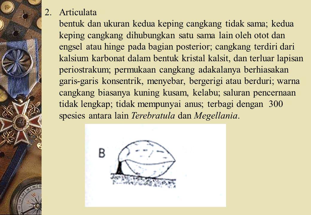 2.Articulata bentuk dan ukuran kedua keping cangkang tidak sama; kedua keping cangkang dihubungkan satu sama lain oleh otot dan engsel atau hinge pada bagian posterior; cangkang terdiri dari kalsium karbonat dalam bentuk kristal kalsit, dan terluar lapisan periostrakum; permukaan cangkang adakalanya berhiasakan garis-garis konsentrik, menyebar, bergerigi atau berduri; warna cangkang biasanya kuning kusam, kelabu; saluran pencernaan tidak lengkap; tidak mempunyai anus; terbagi dengan 300 spesies antara lain Terebratula dan Megellania.