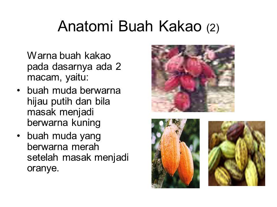 Anatomi Buah Kakao (2) Warna buah kakao pada dasarnya ada 2 macam, yaitu: buah muda berwarna hijau putih dan bila masak menjadi berwarna kuning buah m