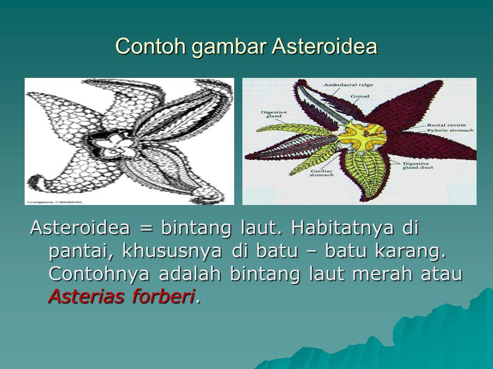 Contoh gambar Asteroidea Asteroidea = bintang laut. Habitatnya di pantai, khususnya di batu – batu karang. Contohnya adalah bintang laut merah atau As