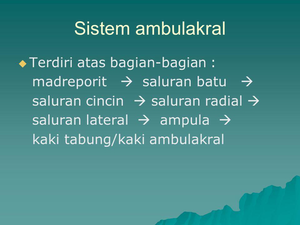 Sistem ambulakral   Terdiri atas bagian-bagian : madreporit  saluran batu  saluran cincin  saluran radial  saluran lateral  ampula  kaki tabun