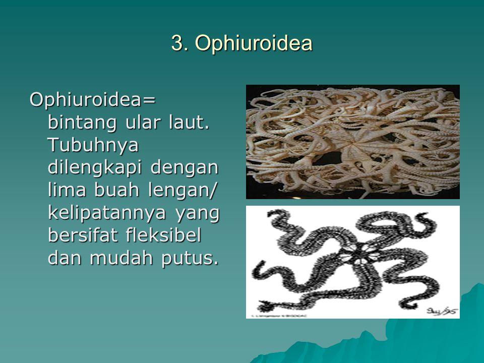 3. Ophiuroidea Ophiuroidea= bintang ular laut. Tubuhnya dilengkapi dengan lima buah lengan/ kelipatannya yang bersifat fleksibel dan mudah putus.