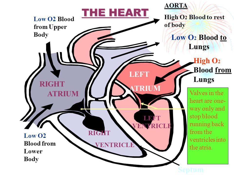 Rongga jantung Terdiri dari 4 ruangan yang saling berhubngan a. Atrium kanan b. Ventrikel kanan c. Atrium kiri d. Ventrikel kiri