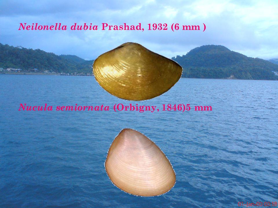 Neilonella dubia Prashad, 1932 (6 mm ) Nucula semiornata (Orbigny, 1846)5 mm