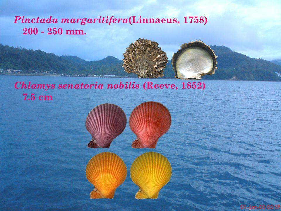 Pinctada margaritifera (Linnaeus, 1758) 200 - 250 mm.