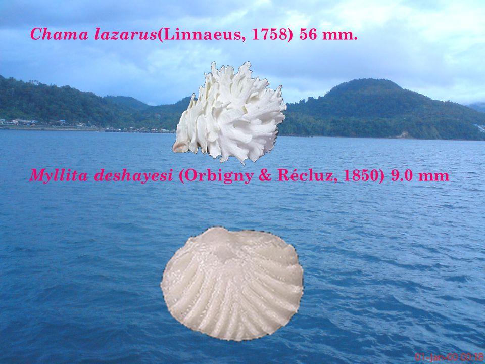 Chama lazarus (Linnaeus, 1758) 56 mm. Myllita deshayesi (Orbigny & Récluz, 1850) 9.0 mm