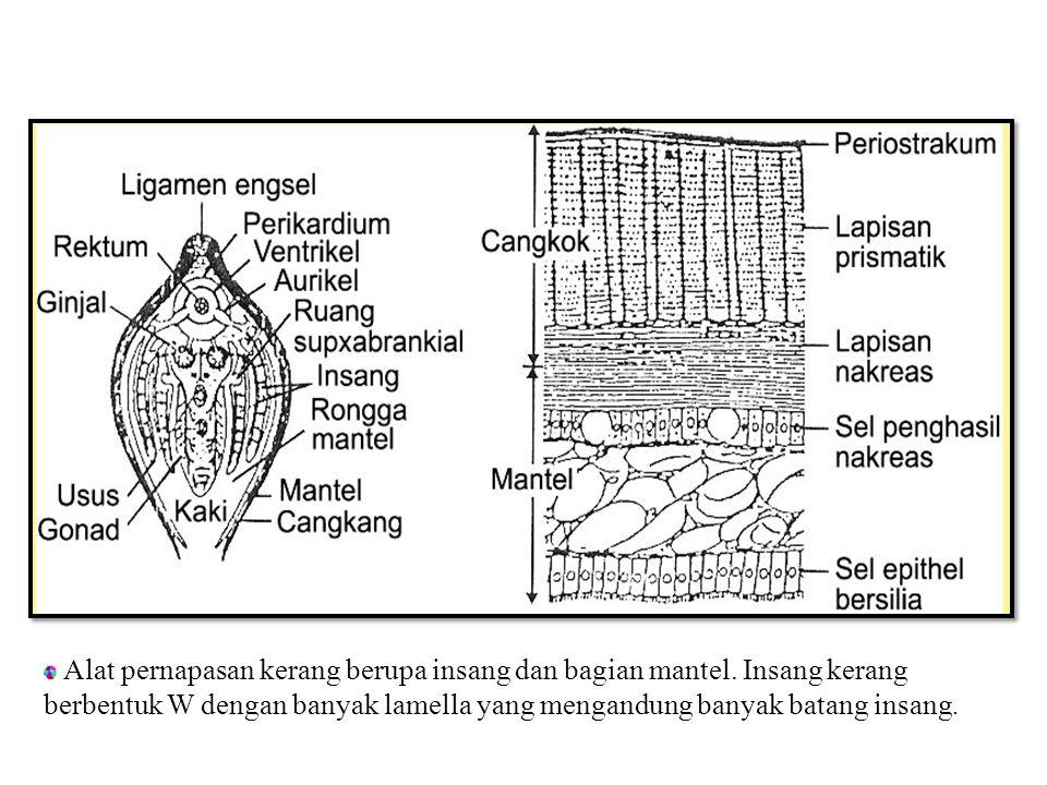 G AMBAR BAGIAN - BAGIAN TUBUH KERANG YANG DIPOTONG SECARA MELINTANG : Alat pernapasan kerang berupa insang dan bagian mantel.