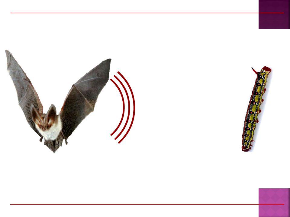  Kelelawar mengeluarkan ultrasonik  Gelombang ultrasonik mengenai obyek  timbul echo (gema)  Kelelawar mendengar echo lalu mencari penyebab gema Kita dapat juga menggunakan ultrasonik untuk melihat bagian dalam tubuh kita …..