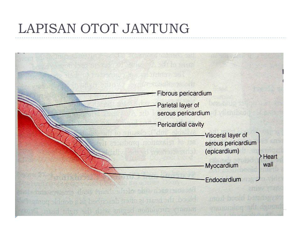 LAPISAN OTOT JANTUNG