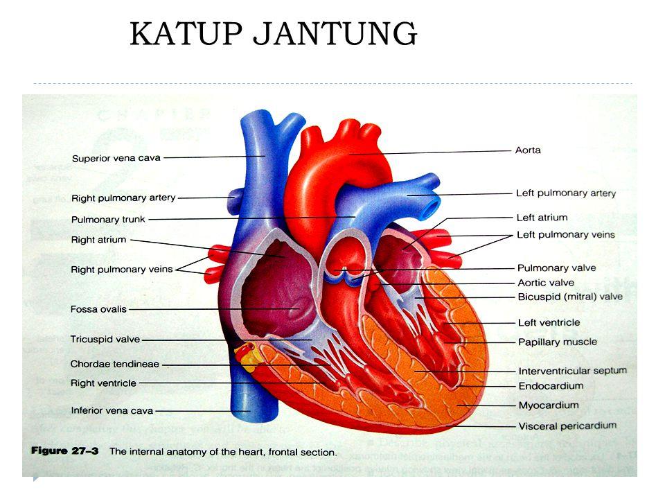 Katup jantung merupakan jaringan fibrosa fleksibel, dilapisi oleh endokardium.