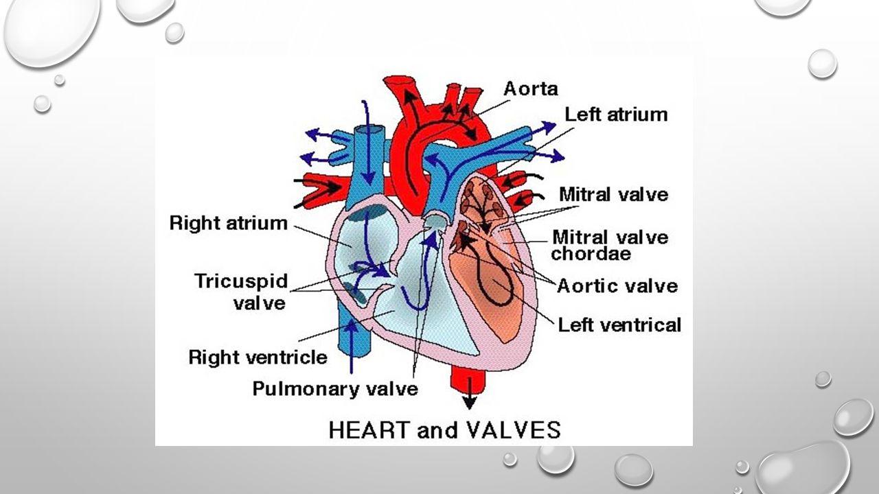 Peredaran darah pendek/kecil/pulmonal Adalah peredaran darah yang mengalirkan darah dari jantung ke paru-paru dan kembali ke jantung.