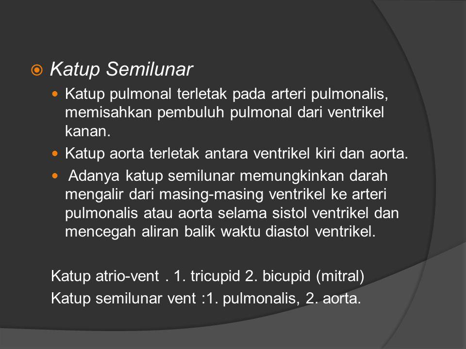  Katup Semilunar Katup pulmonal terletak pada arteri pulmonalis, memisahkan pembuluh pulmonal dari ventrikel kanan. Katup aorta terletak antara ventr