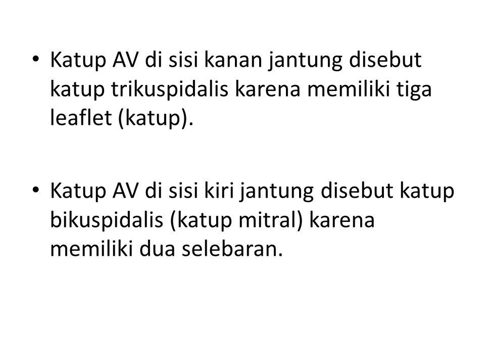 Katup AV di sisi kanan jantung disebut katup trikuspidalis karena memiliki tiga leaflet (katup). Katup AV di sisi kiri jantung disebut katup bikuspida
