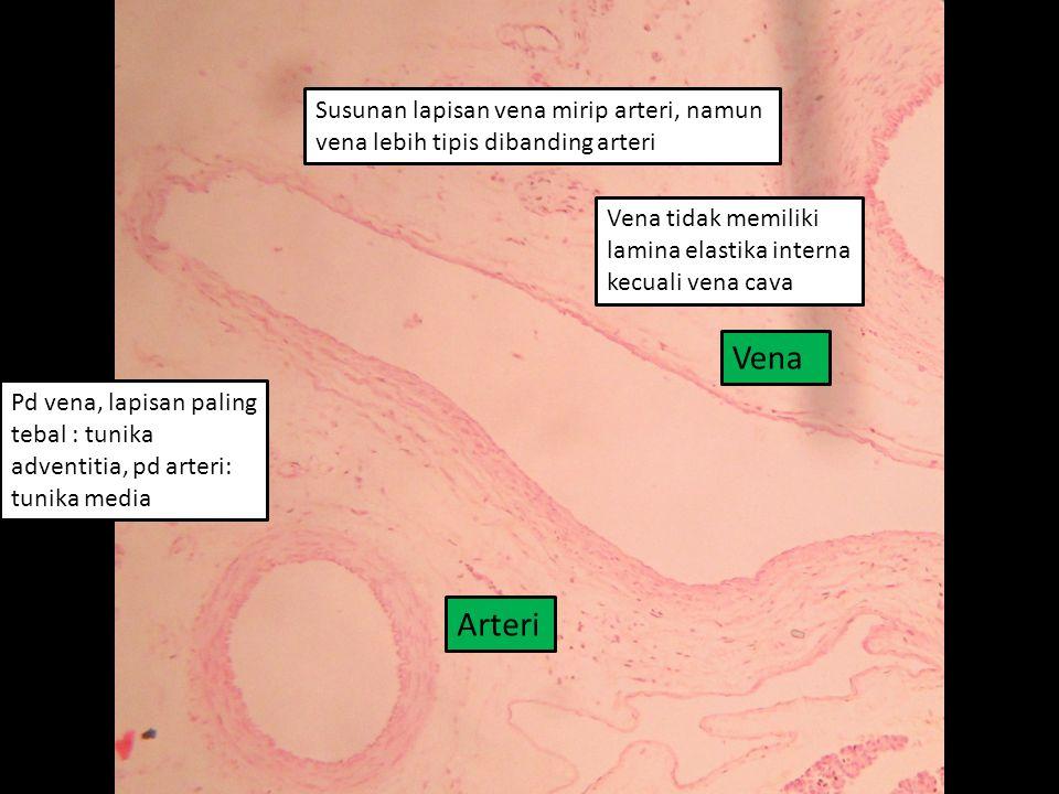Vena Susunan lapisan vena mirip arteri, namun vena lebih tipis dibanding arteri Arteri Vena tidak memiliki lamina elastika interna kecuali vena cava Pd vena, lapisan paling tebal : tunika adventitia, pd arteri: tunika media