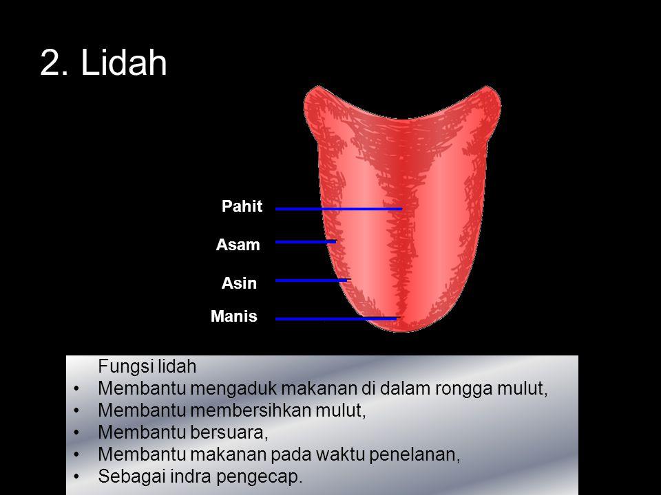 Struktur Gigi: a. Korona (Mahkota gigi) bagian gigi yang tampak dari luar b. Kolum (Leher gigi) bagian yang terlindung oleh gusi c. Radiks (Akar gigi)