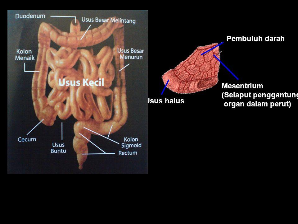 Usus Halus Usus halus terletak diantara lambung dan usus besar. Proses penyerapan dan pencernaan sari makanan berlangsung di dalam usus halus. Di usus
