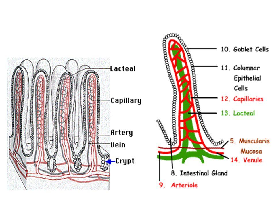 4. Usus Halus (Intestinum) Makanan yang telah dicerna di lambung berbentuk Khim dan akan masuk ke usus halus melalui sfinkter pylori. Pada permukaan u