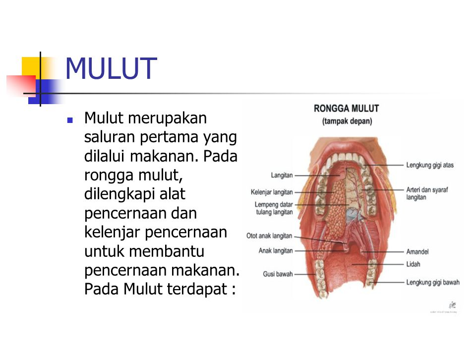 MULUT Mulut merupakan saluran pertama yang dilalui makanan.