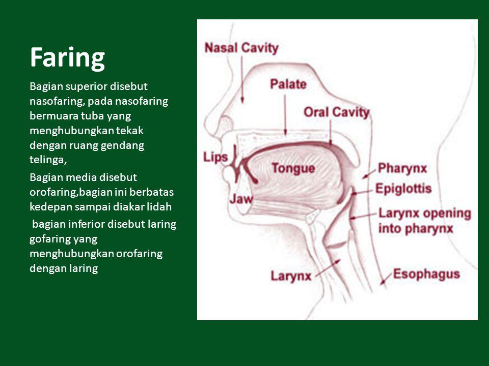 Faring Bagian superior disebut nasofaring, pada nasofaring bermuara tuba yang menghubungkan tekak dengan ruang gendang telinga, Bagian media disebut o