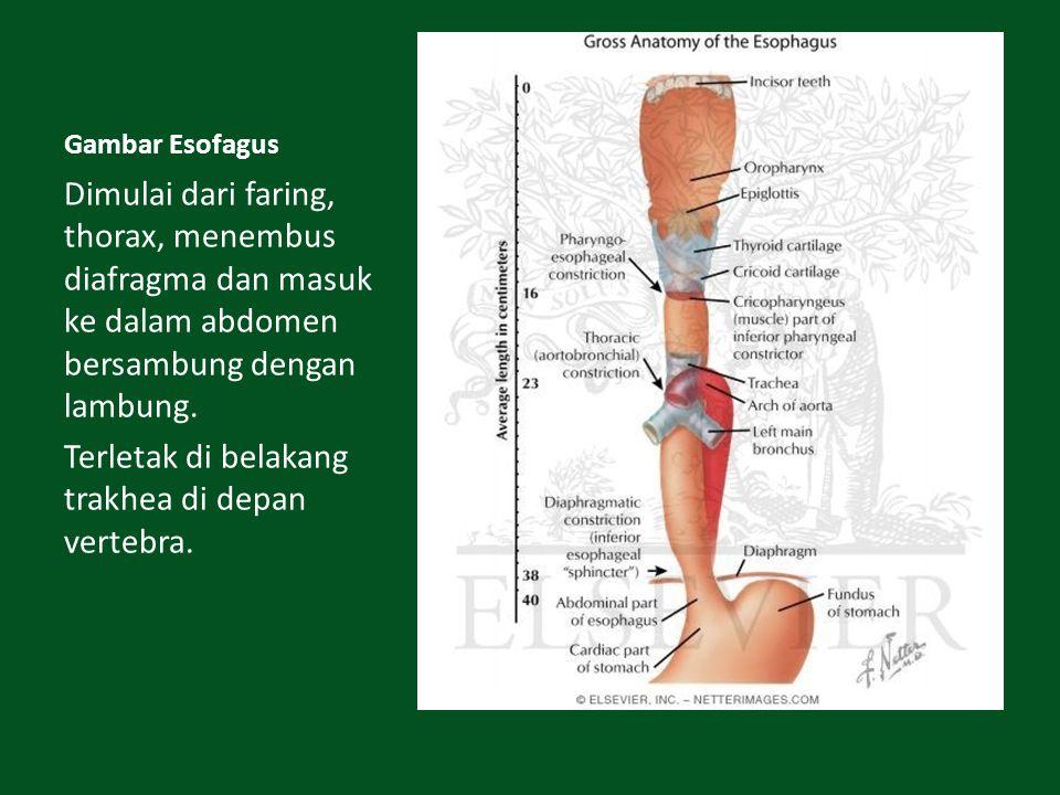 Gambar Esofagus Dimulai dari faring, thorax, menembus diafragma dan masuk ke dalam abdomen bersambung dengan lambung. Terletak di belakang trakhea di