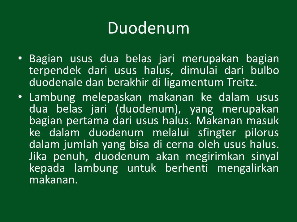 Duodenum Bagian usus dua belas jari merupakan bagian terpendek dari usus halus, dimulai dari bulbo duodenale dan berakhir di ligamentum Treitz. Lambun
