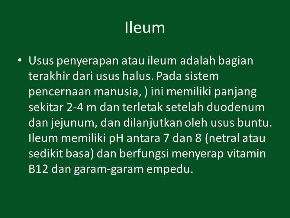Ileum Usus penyerapan atau ileum adalah bagian terakhir dari usus halus. Pada sistem pencernaan manusia, ) ini memiliki panjang sekitar 2-4 m dan terl