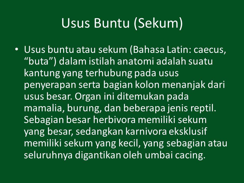"""Usus Buntu (Sekum) Usus buntu atau sekum (Bahasa Latin: caecus, """"buta"""") dalam istilah anatomi adalah suatu kantung yang terhubung pada usus penyerapan"""