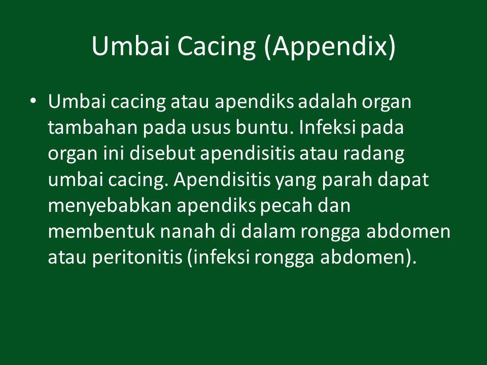 Umbai Cacing (Appendix) Umbai cacing atau apendiks adalah organ tambahan pada usus buntu. Infeksi pada organ ini disebut apendisitis atau radang umbai