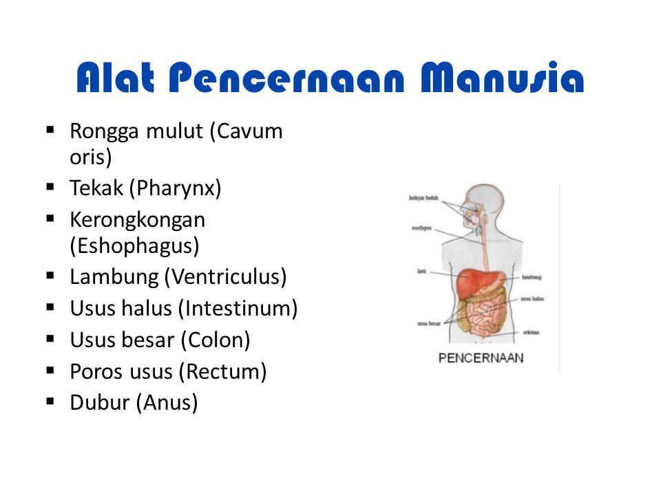 Alat Pencernaan Manusia  Rongga mulut (Cavum oris)  Tekak (Pharynx)  Kerongkongan (Eshophagus)  Lambung (Ventriculus)  Usus halus (Intestinum) 