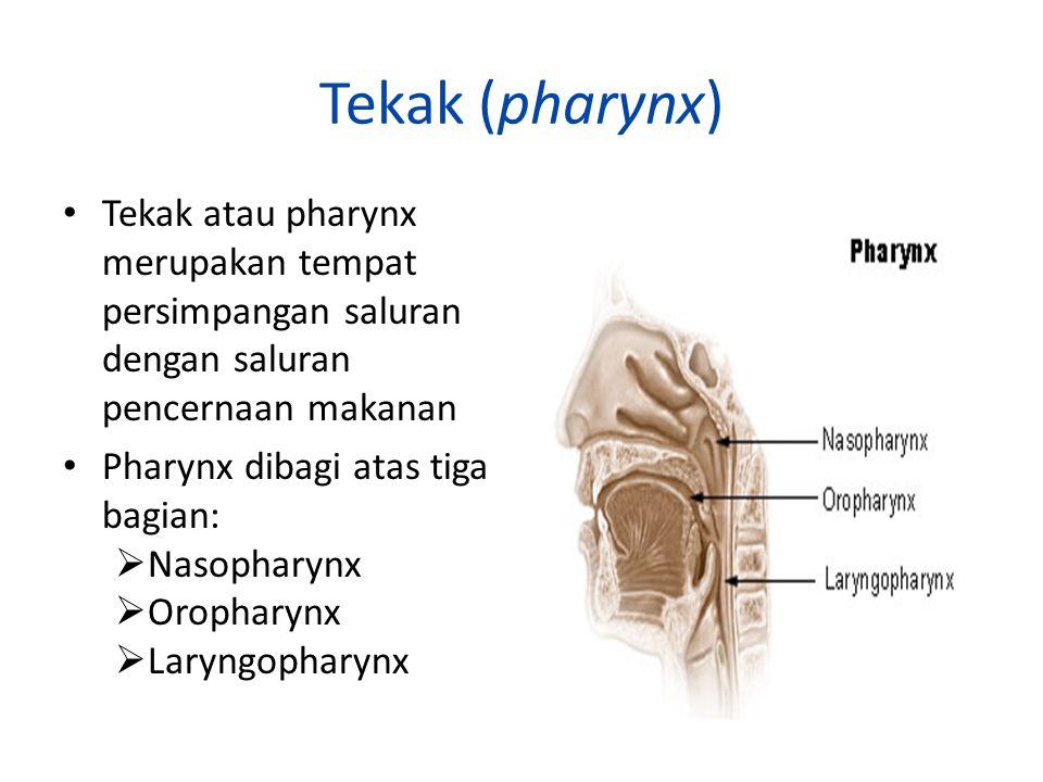 Tekak (pharynx) Tekak atau pharynx merupakan tempat persimpangan saluran dengan saluran pencernaan makanan Pharynx dibagi atas tiga bagian:  Nasophar