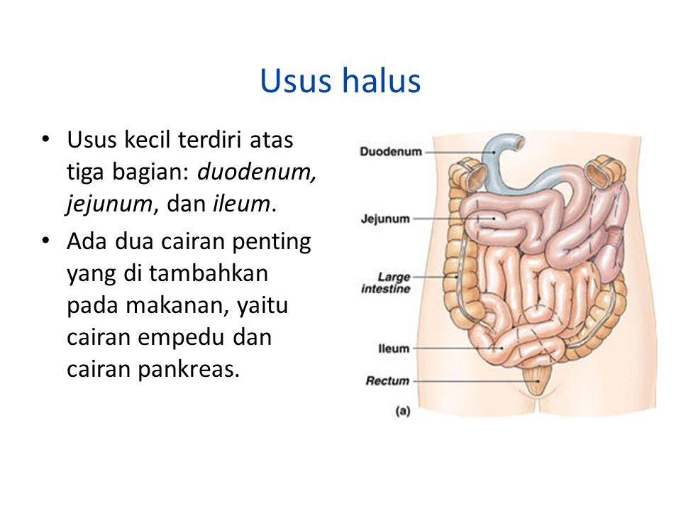 Usus halus Usus kecil terdiri atas tiga bagian: duodenum, jejunum, dan ileum. Ada dua cairan penting yang di tambahkan pada makanan, yaitu cairan empe