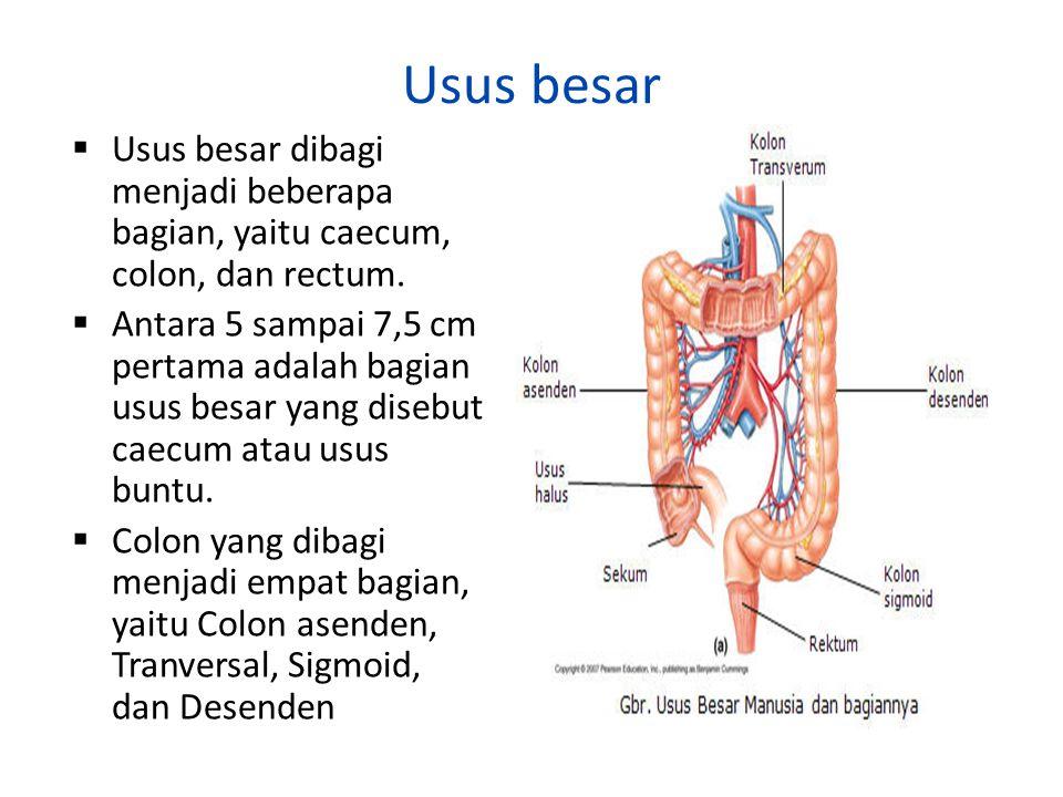 Usus besar  Usus besar dibagi menjadi beberapa bagian, yaitu caecum, colon, dan rectum.  Antara 5 sampai 7,5 cm pertama adalah bagian usus besar yan