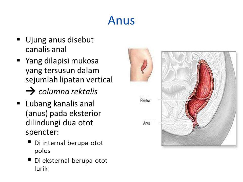 Anus  Ujung anus disebut canalis anal  Yang dilapisi mukosa yang tersusun dalam sejumlah lipatan vertical → columna rektalis  Lubang kanalis anal (