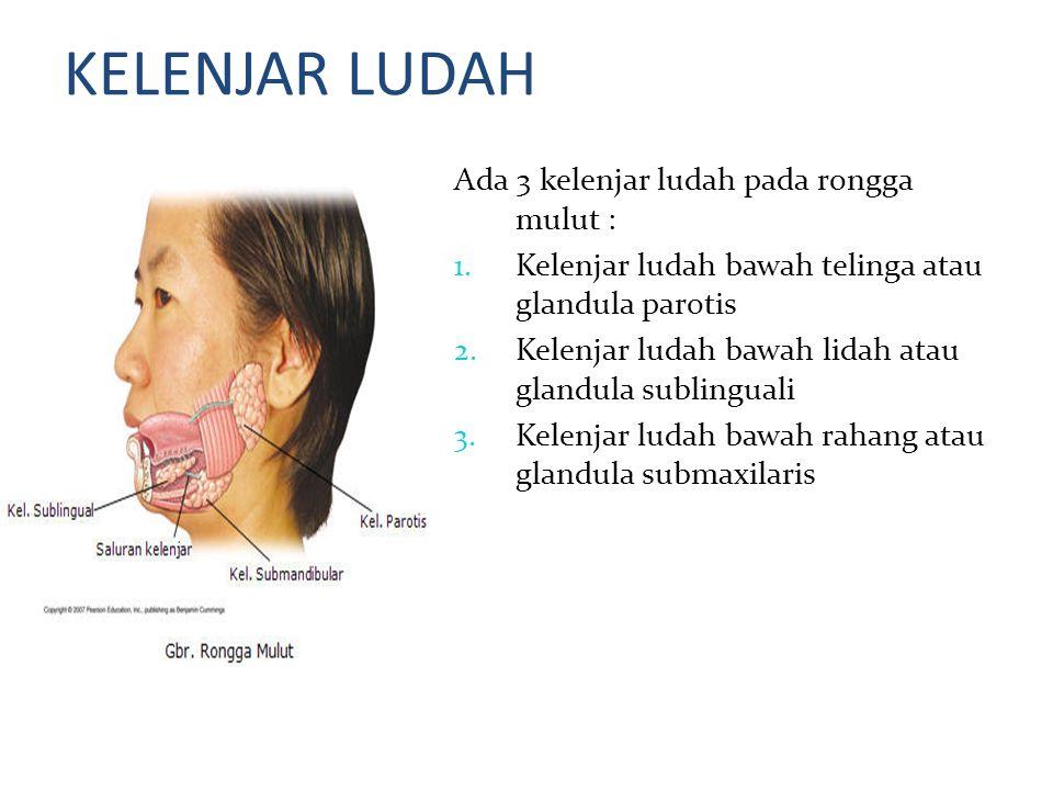 KELENJAR LUDAH Ada 3 kelenjar ludah pada rongga mulut : 1. Kelenjar ludah bawah telinga atau glandula parotis 2. Kelenjar ludah bawah lidah atau gland